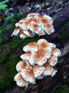 Pholiota mushrooms