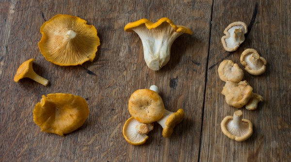 Three different chanterelle species from Minnesota