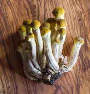 Honey Mushrooms, Armillaria mellea