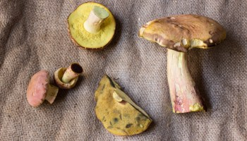 On hunting, identifying, and cooking fairy ring mushrooms, Marasmius