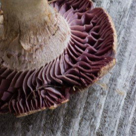 Purple Laccaria Mushroooms or Laccara Ochropurpurea