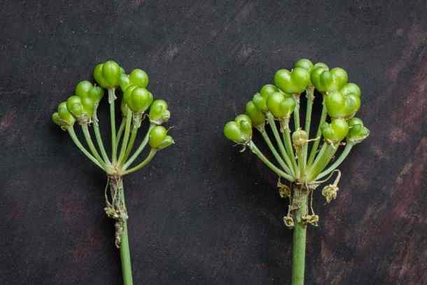 Unripe green ramp seeds