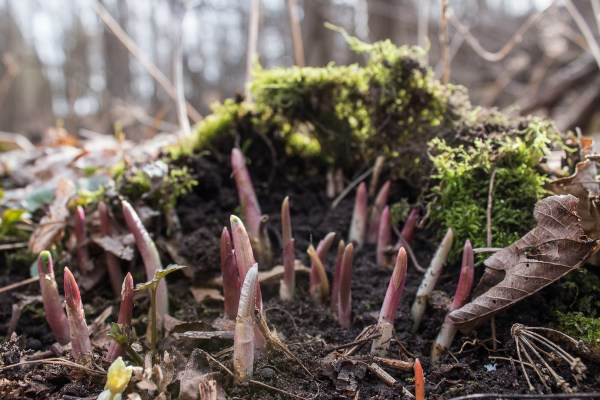 Young ramp or wild leek shoots coming up in the spring