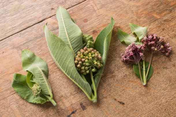 Edible Milkweed Buds