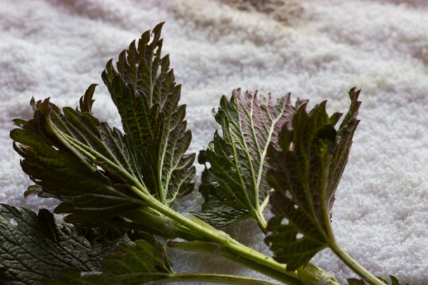 Young Nettles sometimes have little red tones to their leaves. They're pretty.