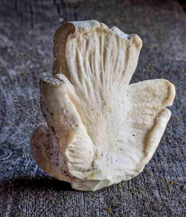 white lobster mushrooms edible