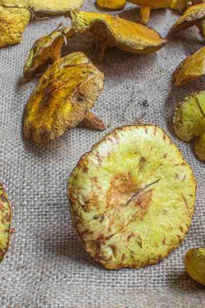 chicken fat bolete suillus americanus edible minnesota