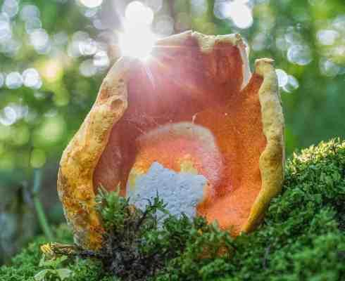 lobster mushrooms