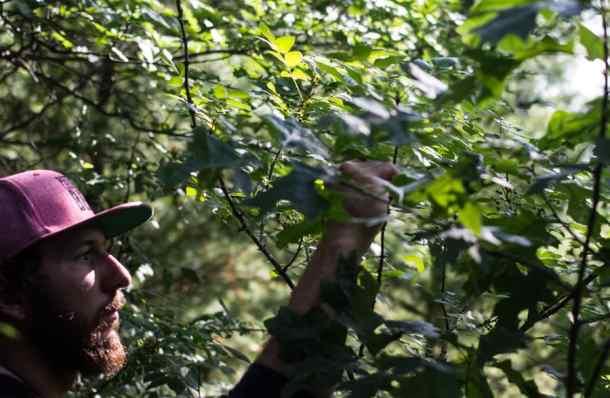 Zanthoxylum wild Szechuan peppercorns (17)