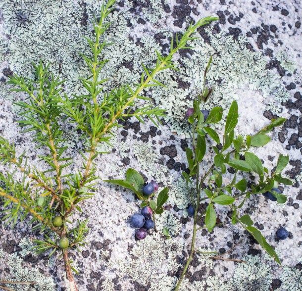 wild juniper and wild blueberries