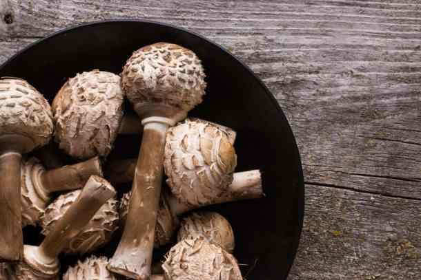 Shaggy Parasol Mushroom