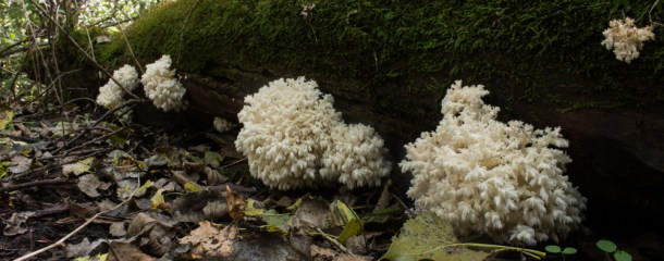 Hericium Mushrooms