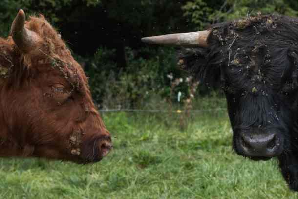 beef cattle, scottish highland