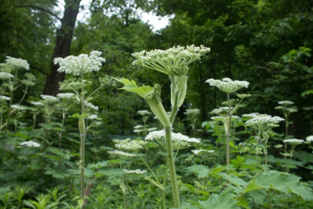 cow-parsnip-blossoms