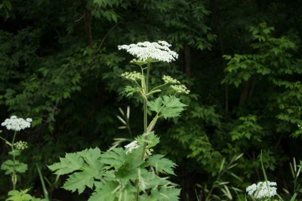 cow parsnip blossoms