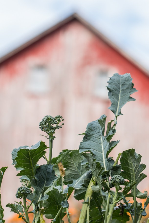 Baby spigariello or Italian broccoli leaves by an old red barn
