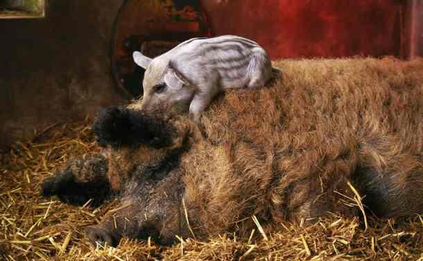 Mangalitsa pig from modern farmer.