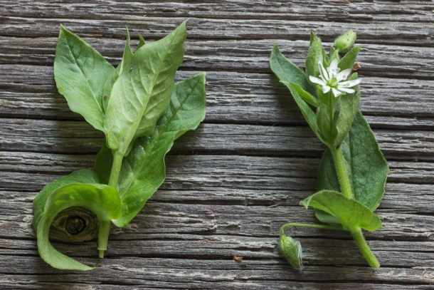 Edible chickweed or stellaria