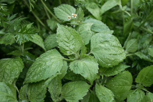 Galinsoga parviflora, the gallant soldier