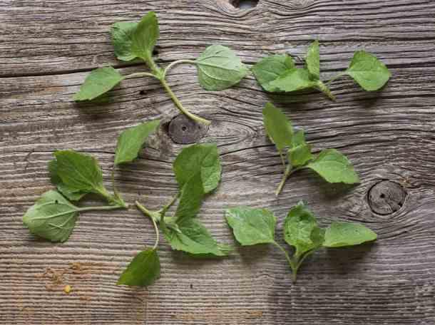 galinsoga parviflora, foraging, salad, gallant soldier,