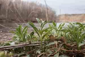 Sochan, or Rudbeckia laciniata, cut leaf coneflower