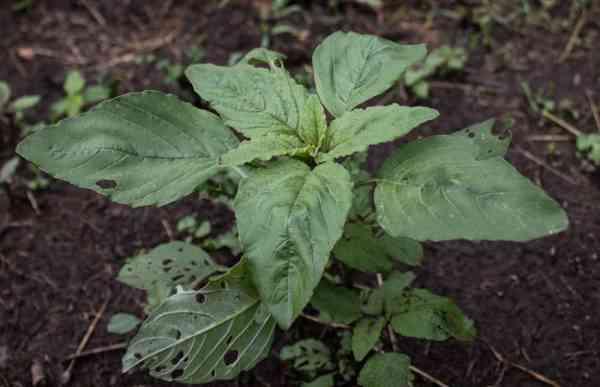Edible Wild Green Amaranth Amaranthus retroflexus_