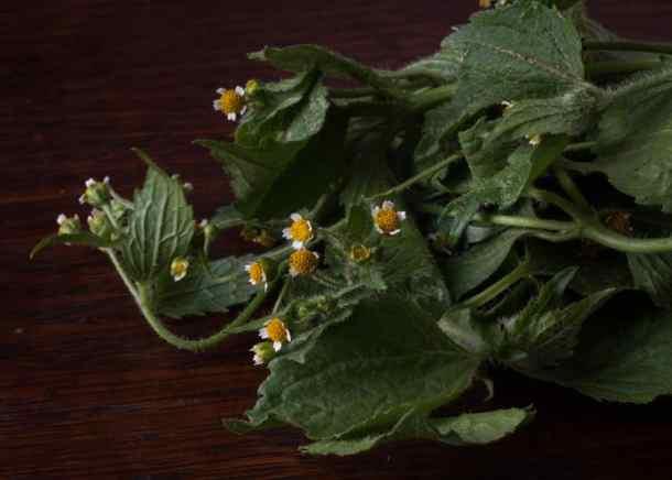 Edible galinsoga parviflora
