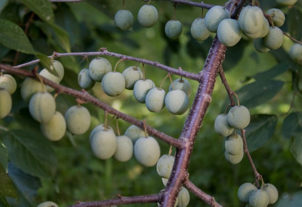 Unripe wild plums