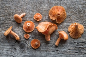 Lactarius thyinos, an edible member of the saffrom milkcap mushroo family