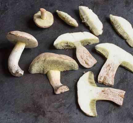 Boletus pallidus mushrooms harvested in Minnesota