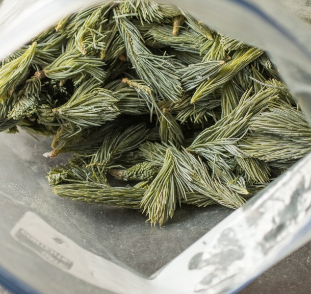 frozen spruce tips
