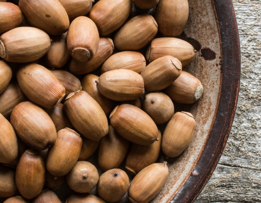 Edible white acorns