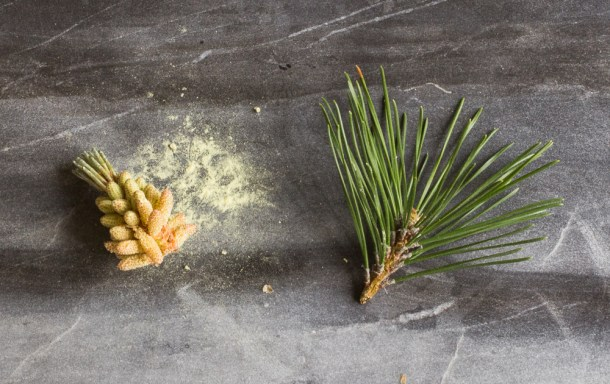 How to harvest pine pollen