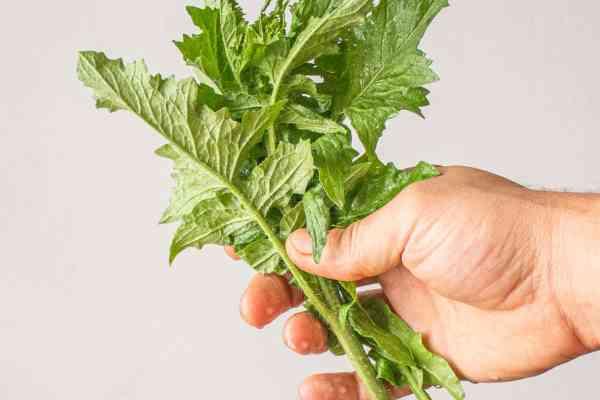 Hedge mustard Sosymbrium loselii