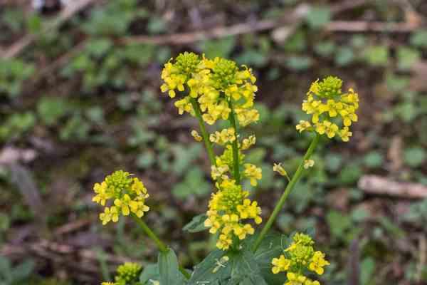 Barbarea vulgaris or bittercress, yellow rocket