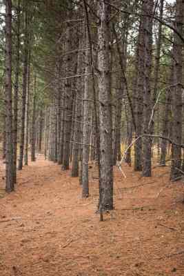 Hunting matsutake mushrooms in pine plantations