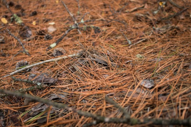 Matsutake mushrooms buried in pine needles
