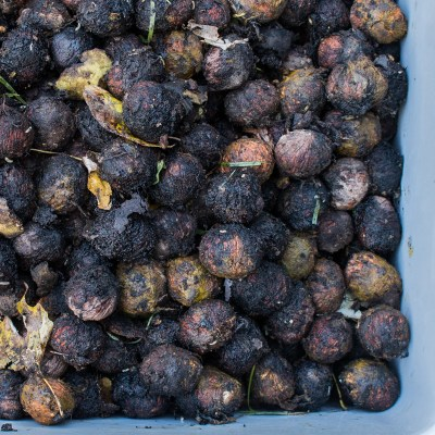 Dirty black walnuts, freshly harvested, ready to be washed