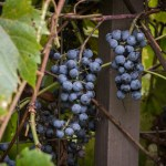 Wild grapes from Minnesota, Vitis riparia