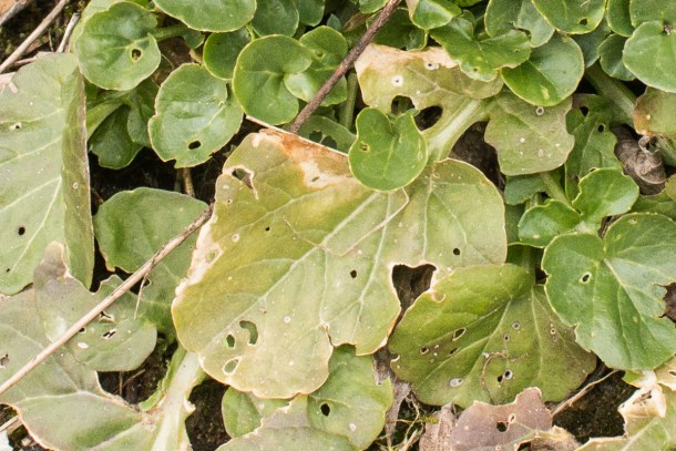 Barbarea vulgaris, wintercress, or bittercress, a wild, edible weed