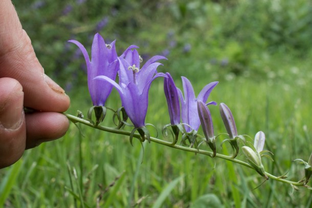 Edible Campanula rapunculoides or creeping bellflower flowers