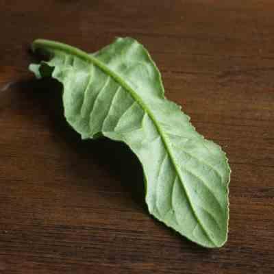 Edible foraged dames rocket basal leaves or Hesperis matronalis