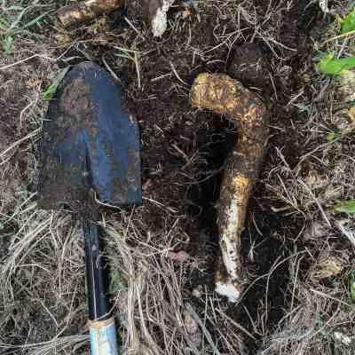 Digging fresh horseradish