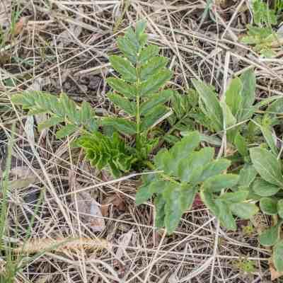 Wild Parsnip Leaves Pastinaca sativa