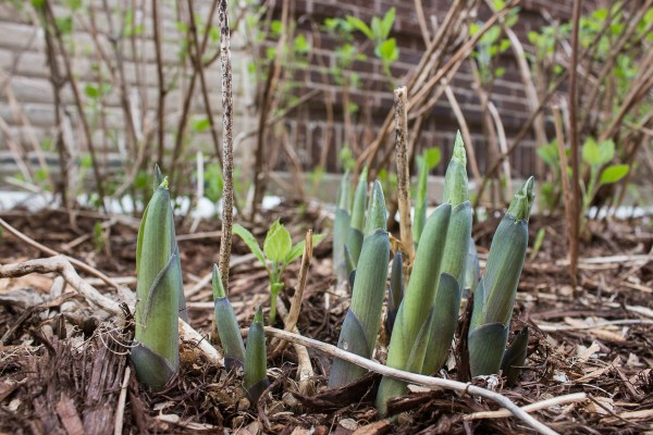 Edible hosta shoots