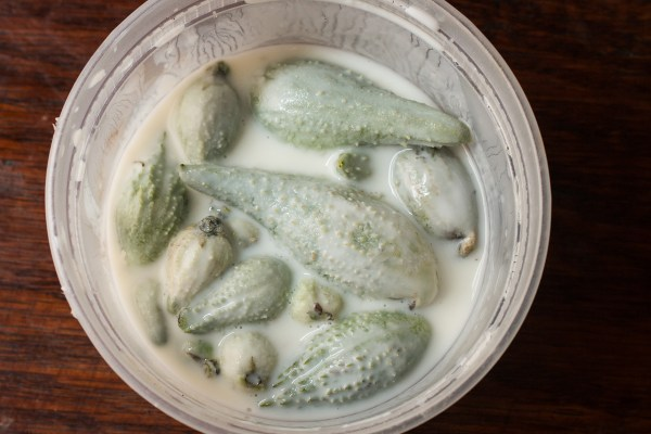 Soaking blanched milkweed pods in buttermilk