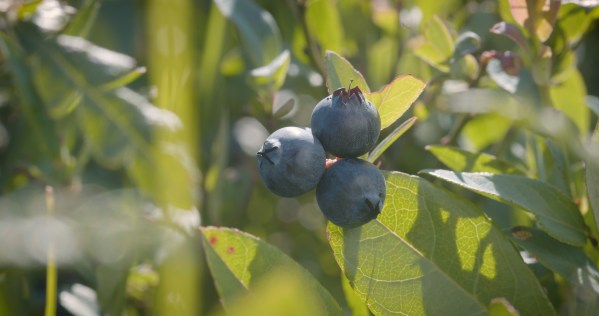 Wild Blueberries. Image by Jesse Roesler.
