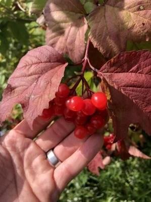 """""""Flag River"""" Highbush cranberries"""