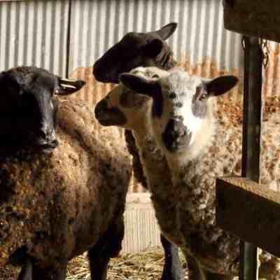 Icelandic ewes and sheep.