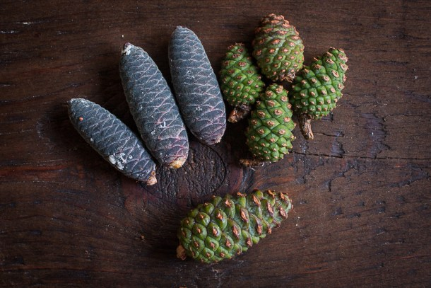 Red pine and balsam fir cones for making syrup